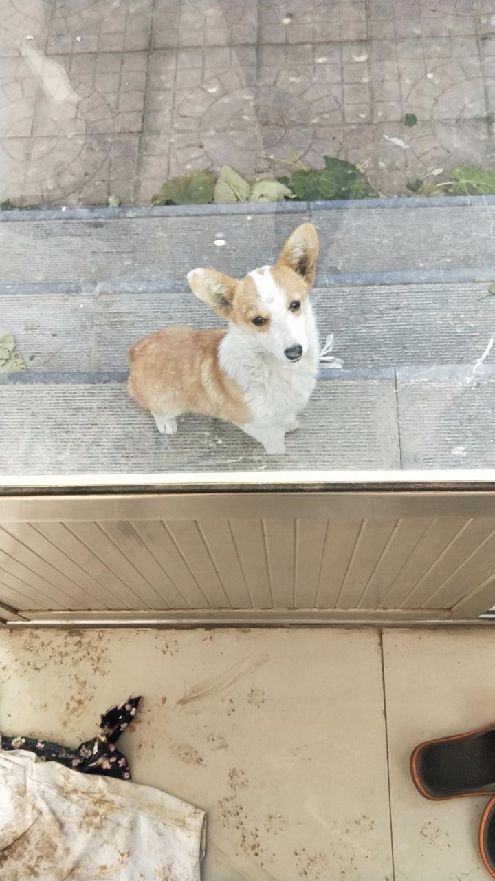 五個月左右的小柯基犬