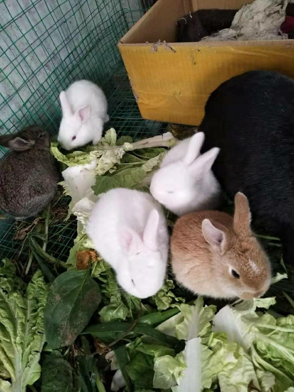 自家養的小兔