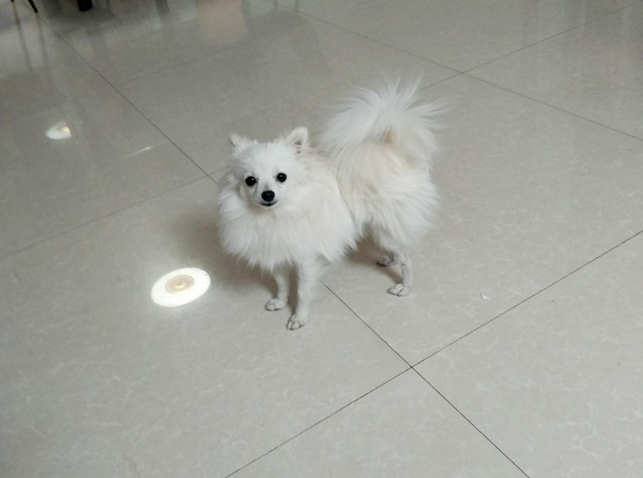 博美可爱小狗狗