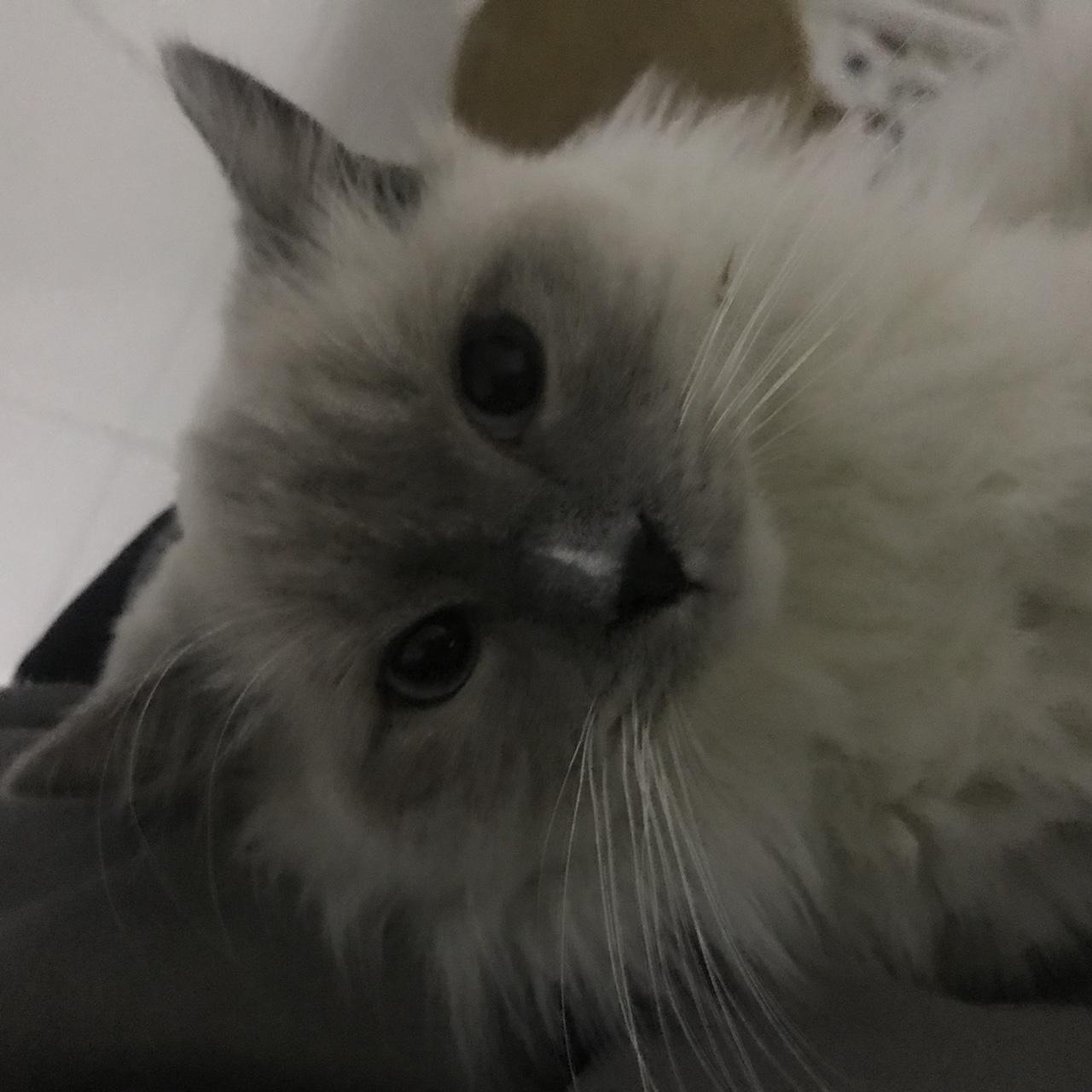 出售7個月布偶貓