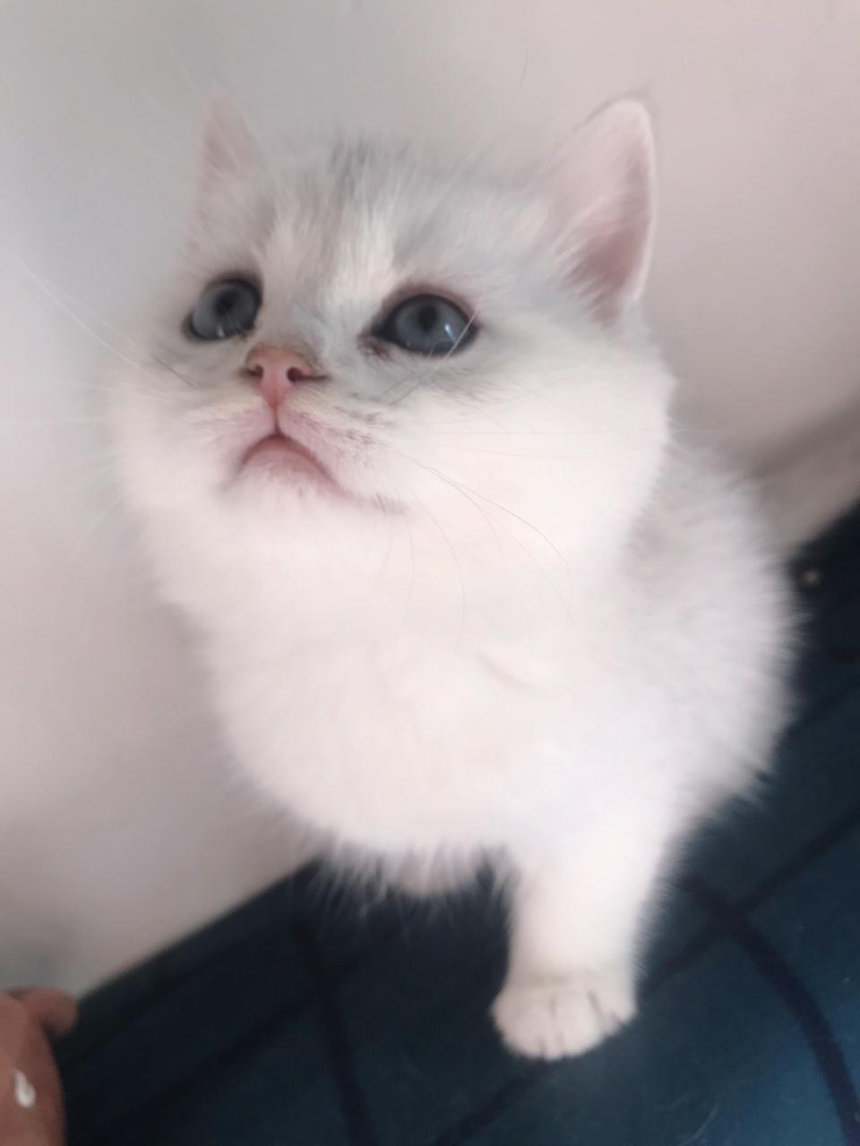 出售自家貓生的英短銀漸層,銀點.