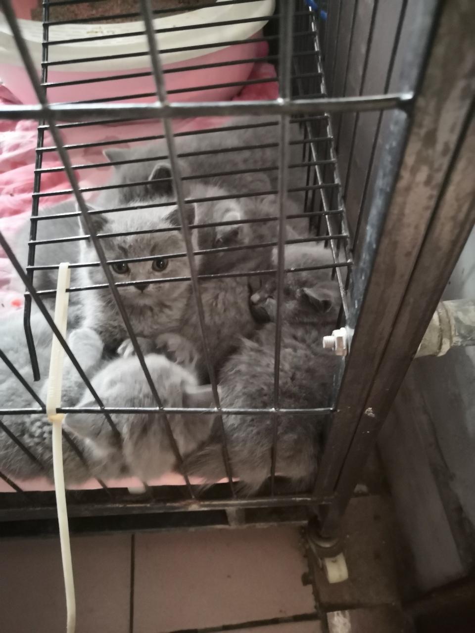 青州藍貓幼仔出售