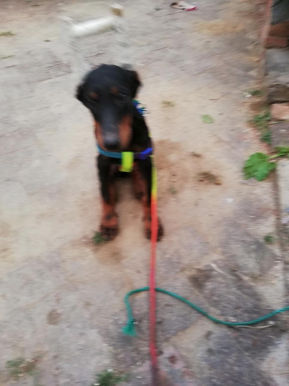 出售杜賓犬一只