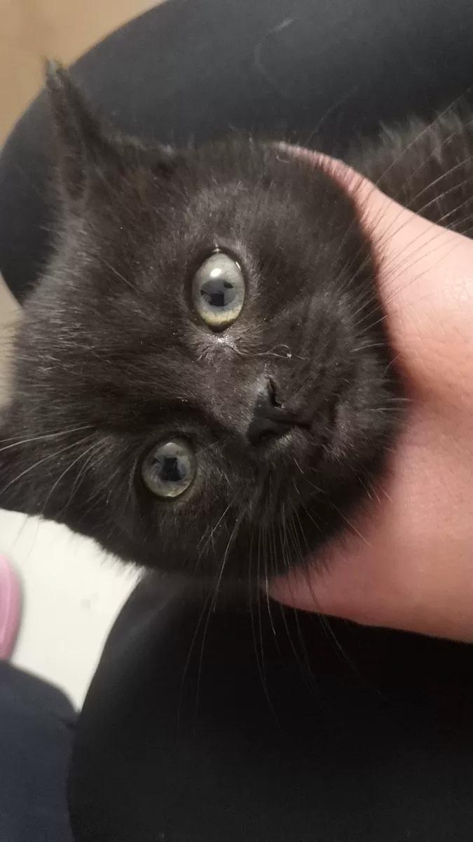 纯黑的孟买猫,公猫,两个月大