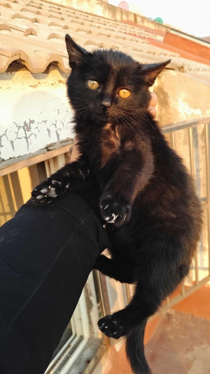 纯黑的孟买猫