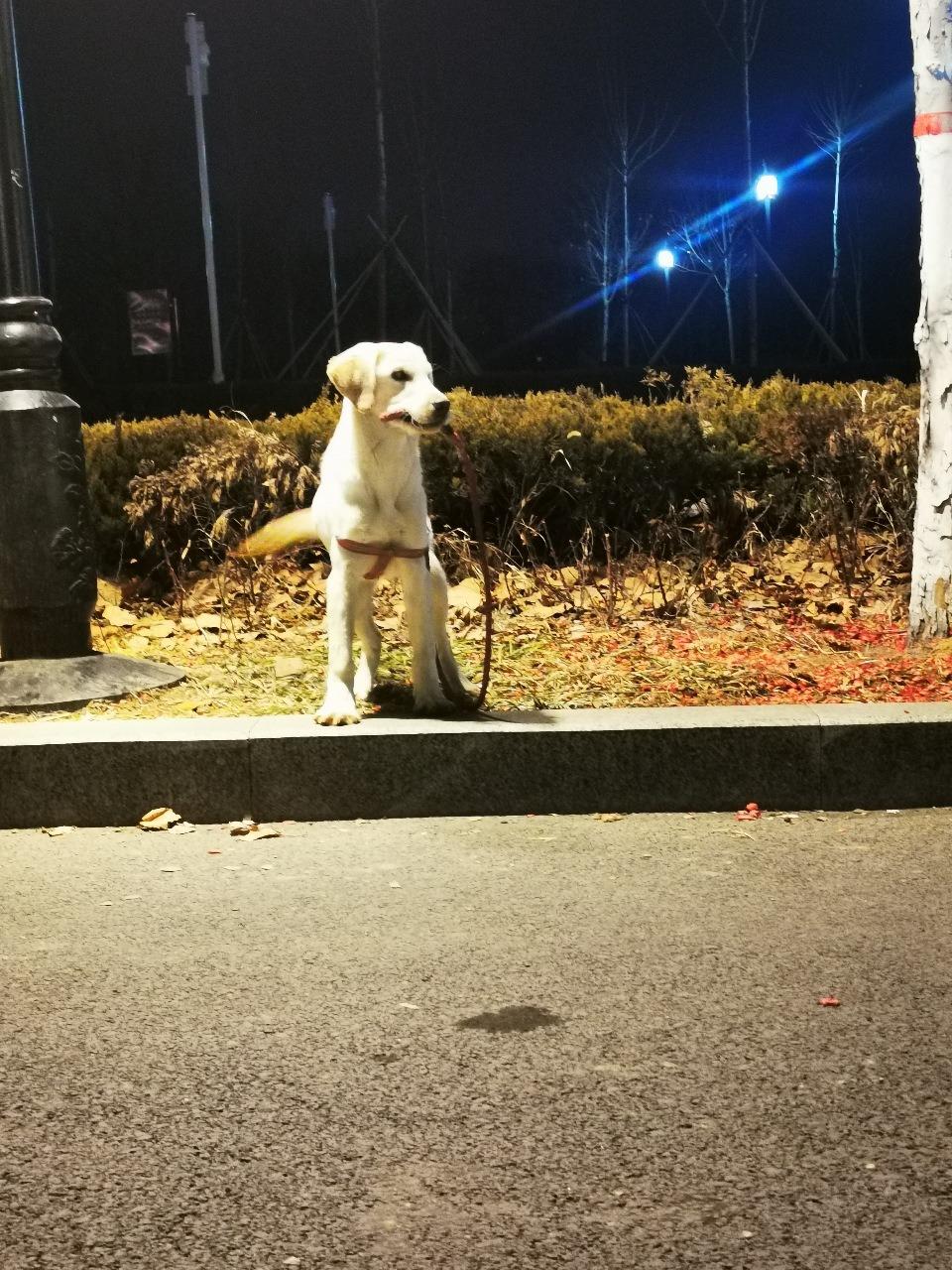 拉布拉多公犬