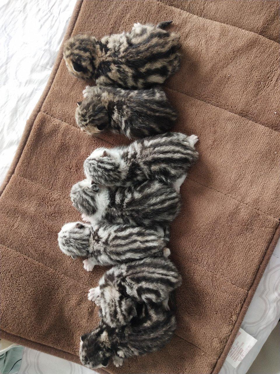 美短新生小奶猫