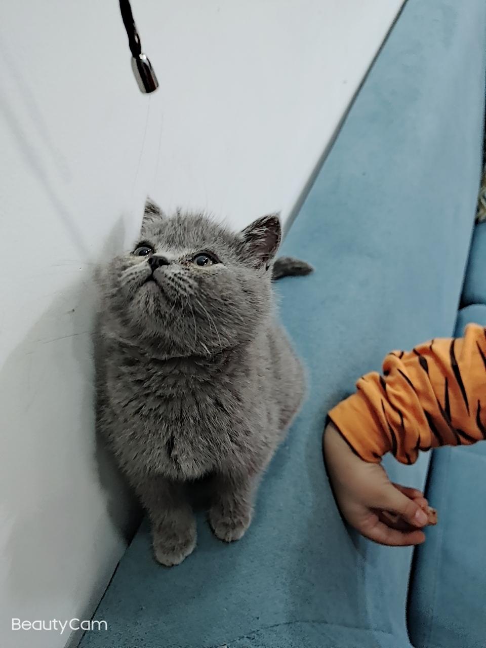 英短看猫母