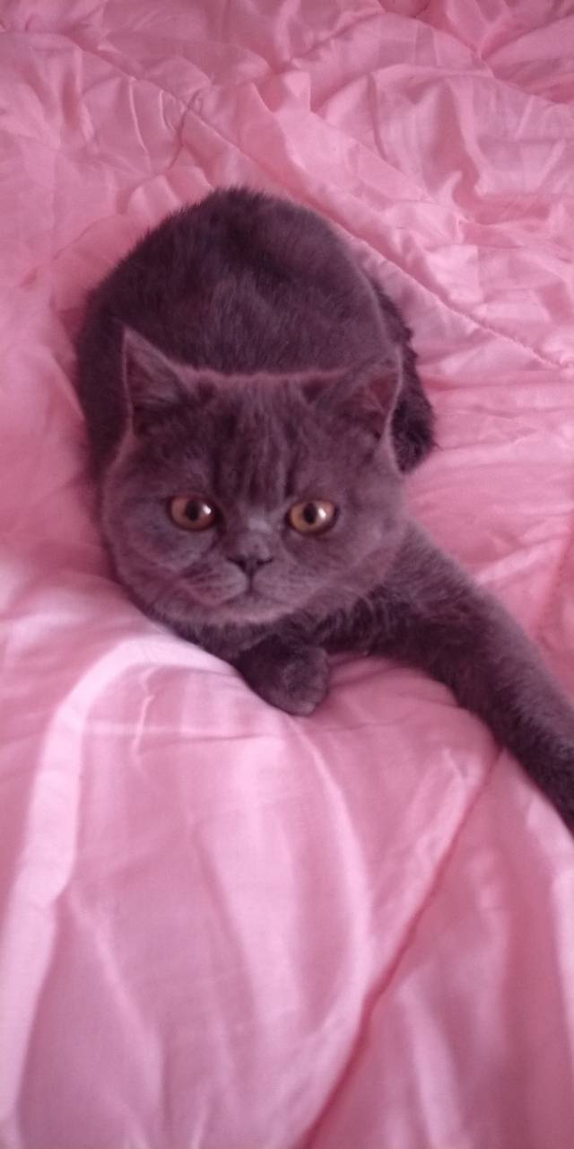 英短圓臉藍貓出售