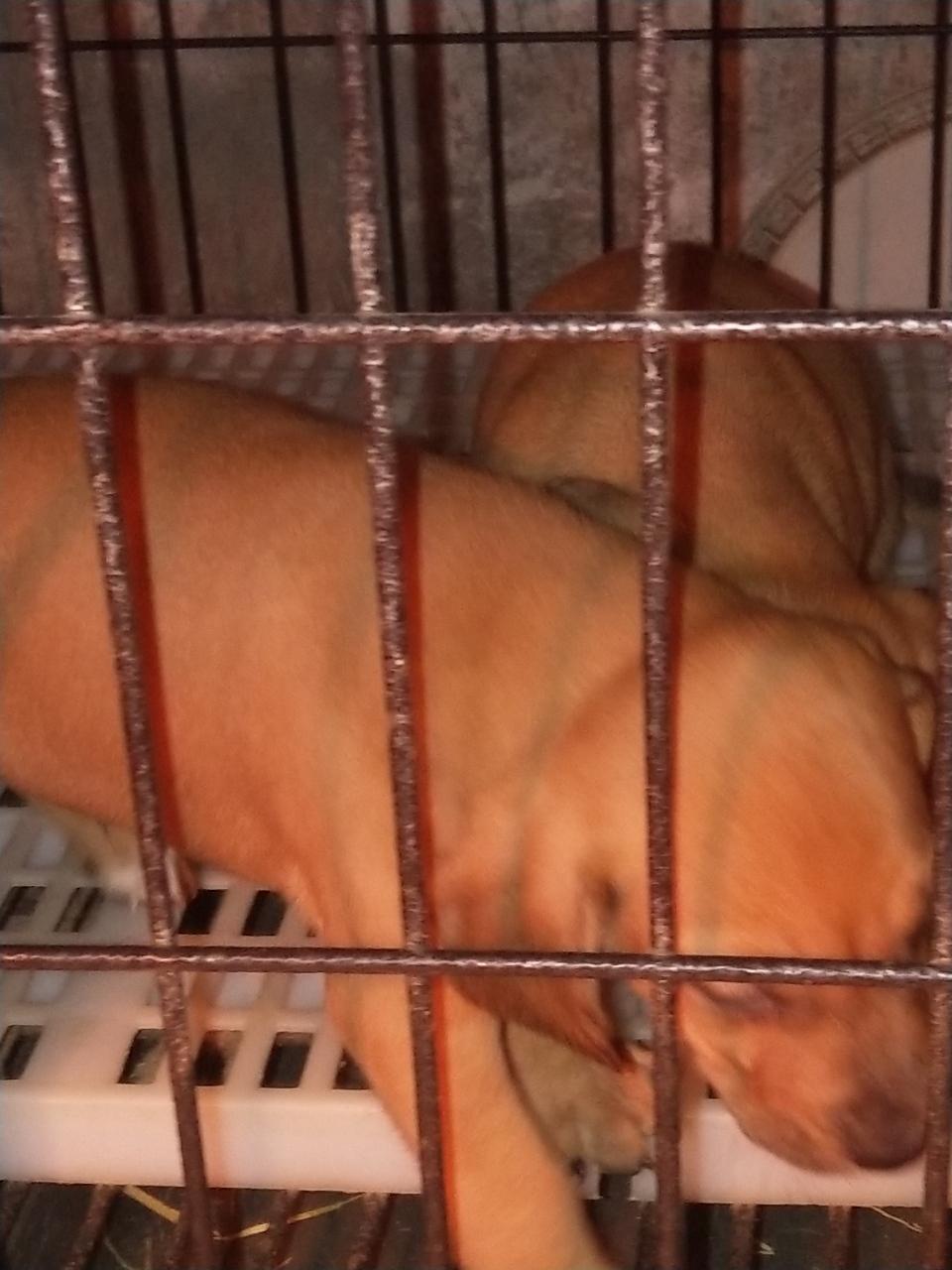 高品質獵犬尋血串比特幼犬出售,識貨的來。
