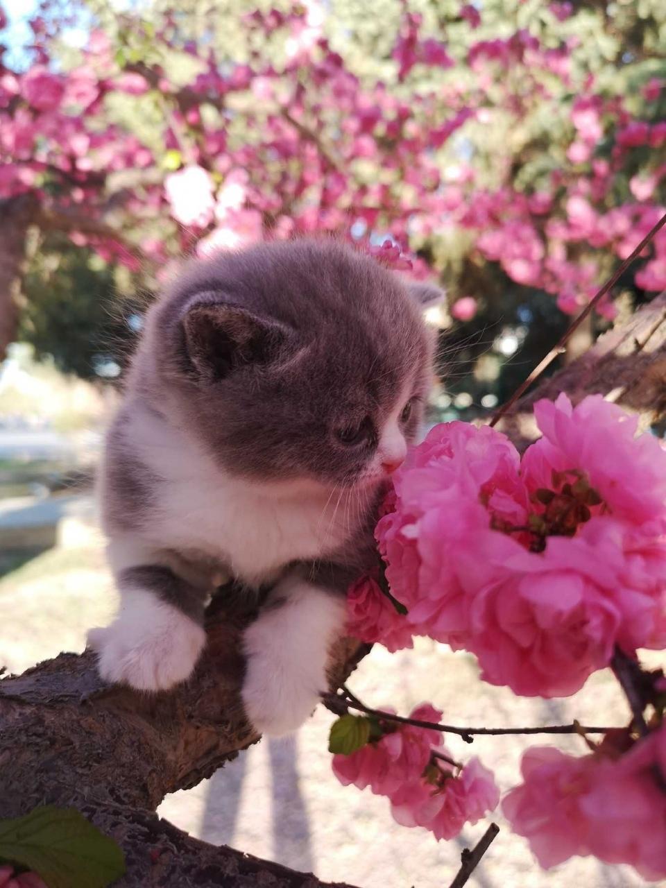 出售家養高品質英短藍貓,藍白