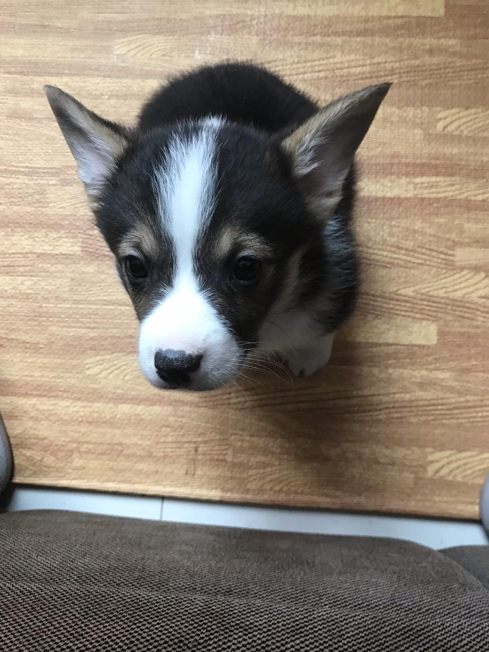 出售一条自己家狗生的柯基