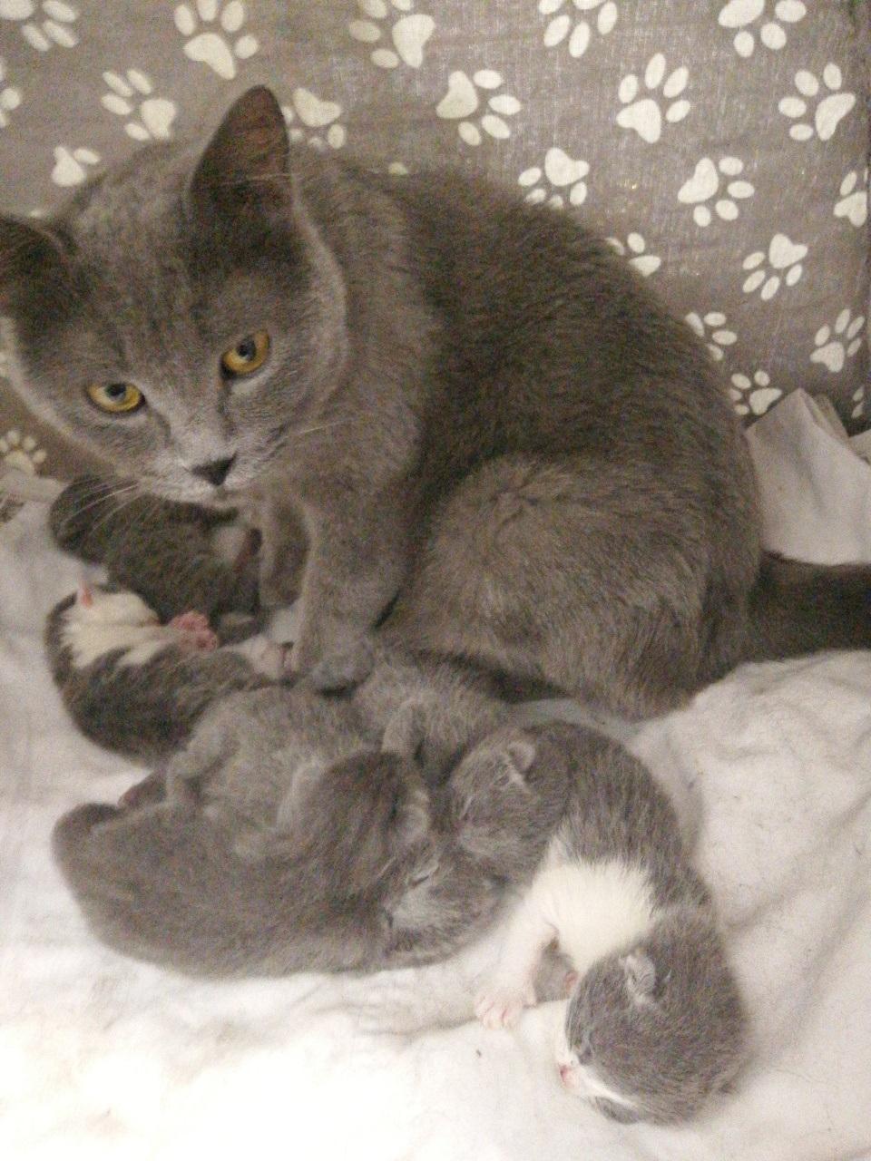 預售英短小藍貓
