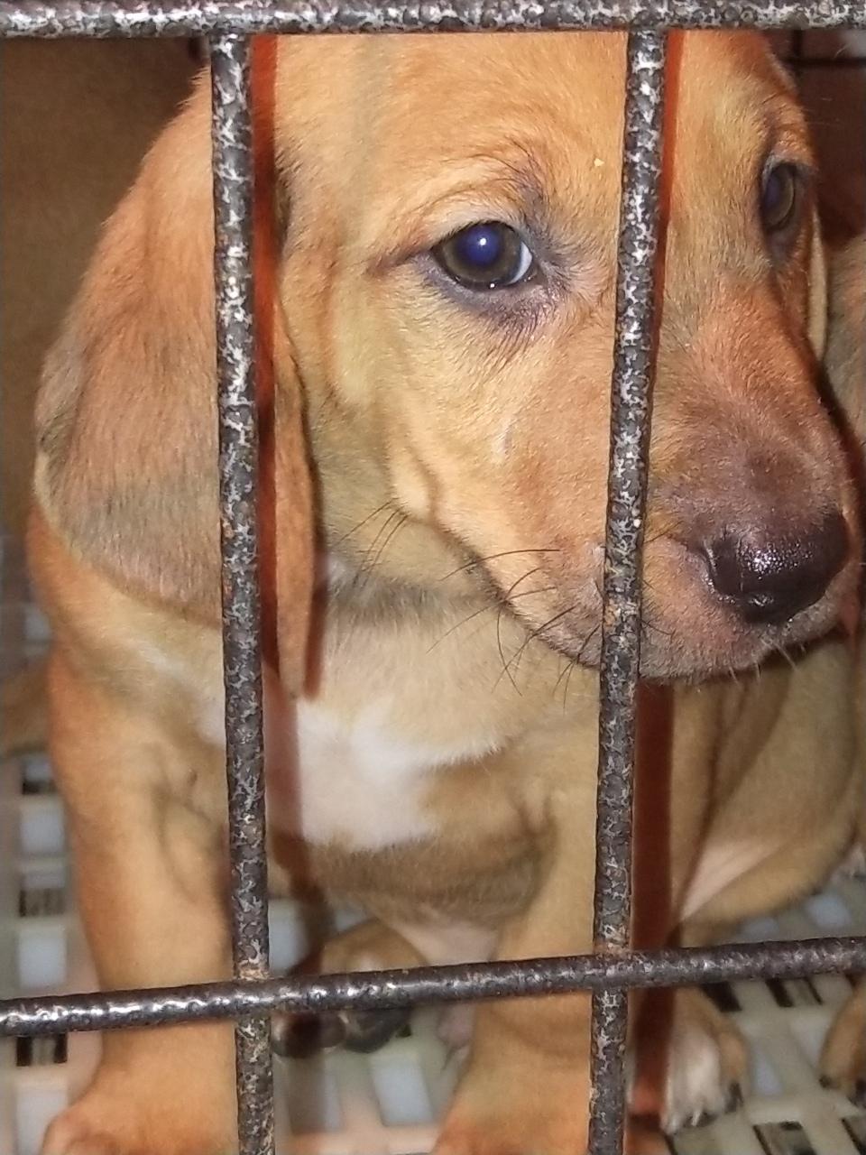 高品質獵犬尋血串比特幼犬出售,識貨的老板
