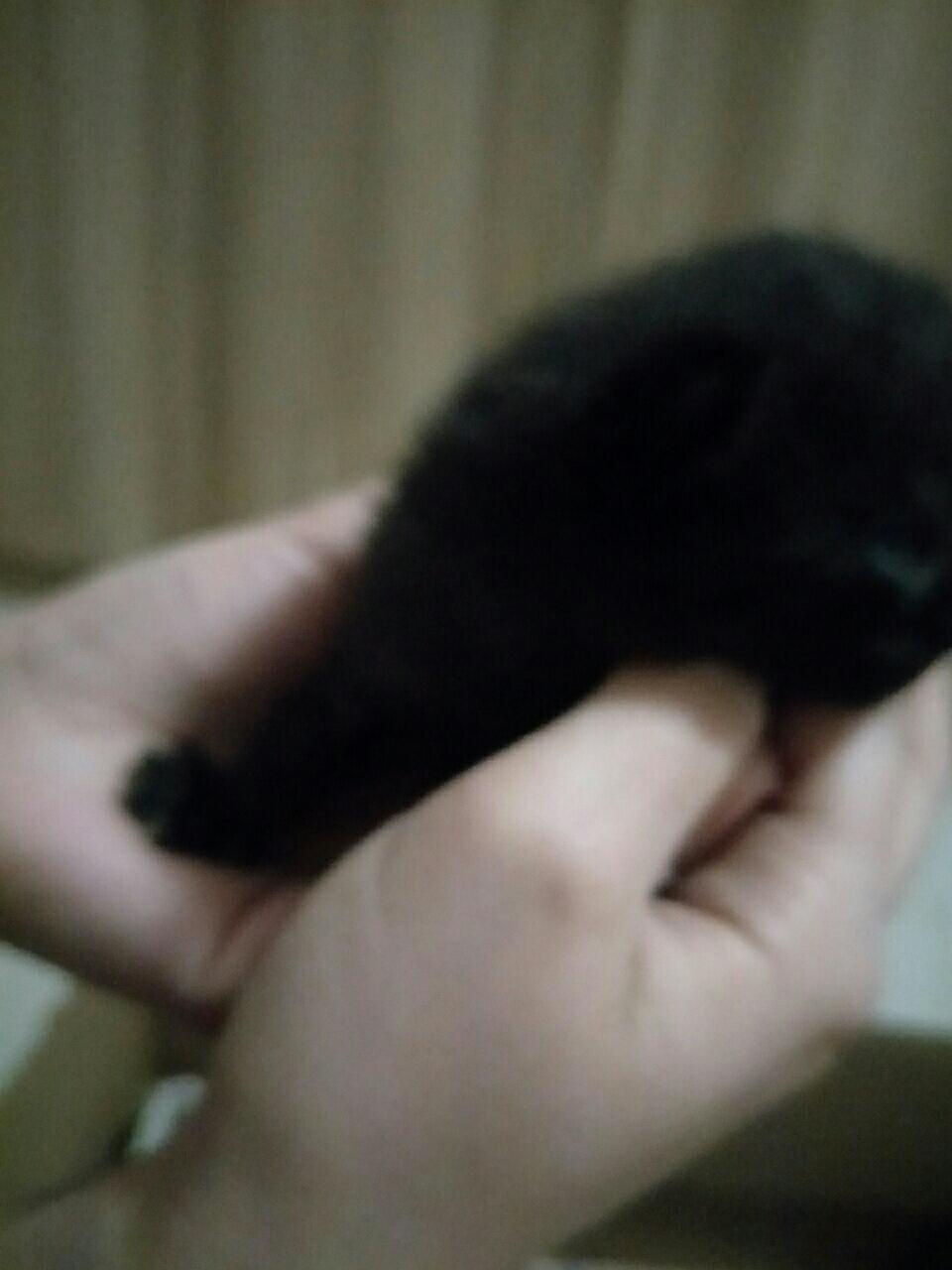自己繁殖的猫咪出售