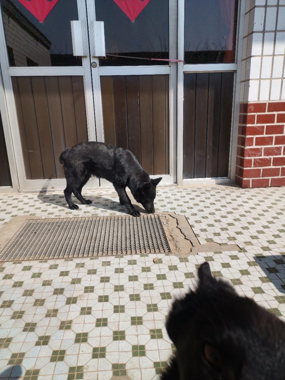 出售纯黑东德幼犬