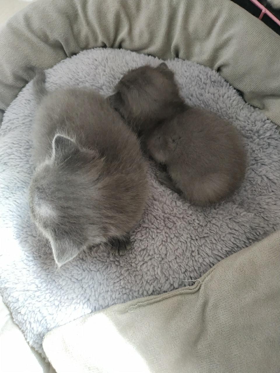 小蓝猫,英短,喜欢猫,对猫好的来,