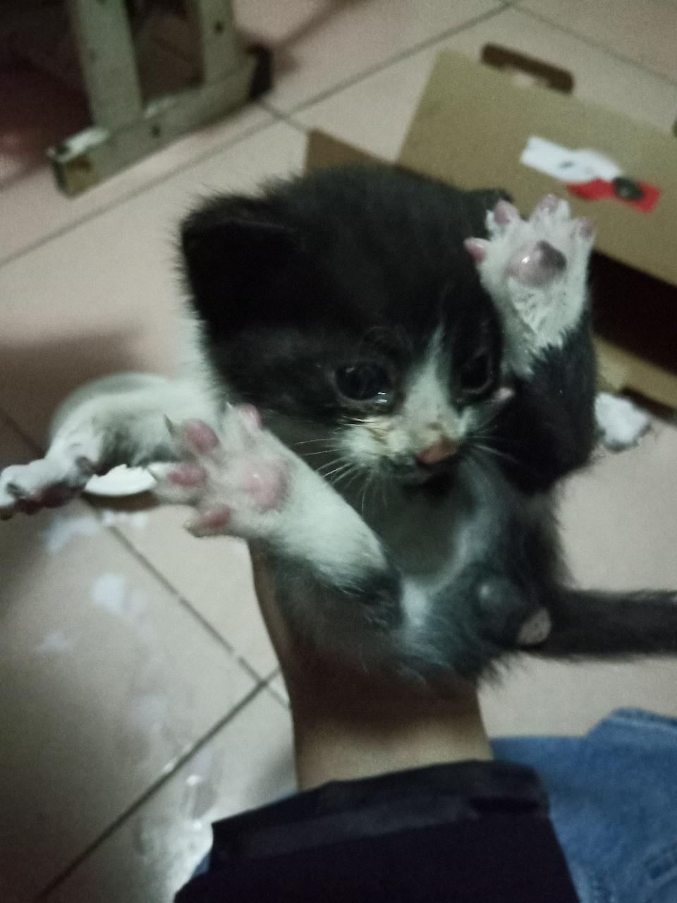 小奶猫转养