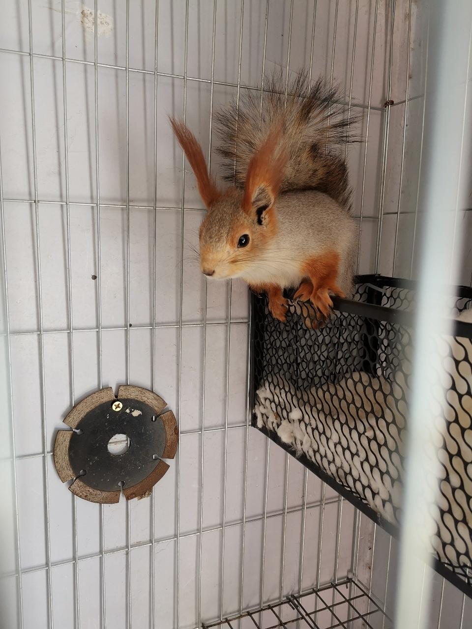 雪地松鼠/魔王松鼠