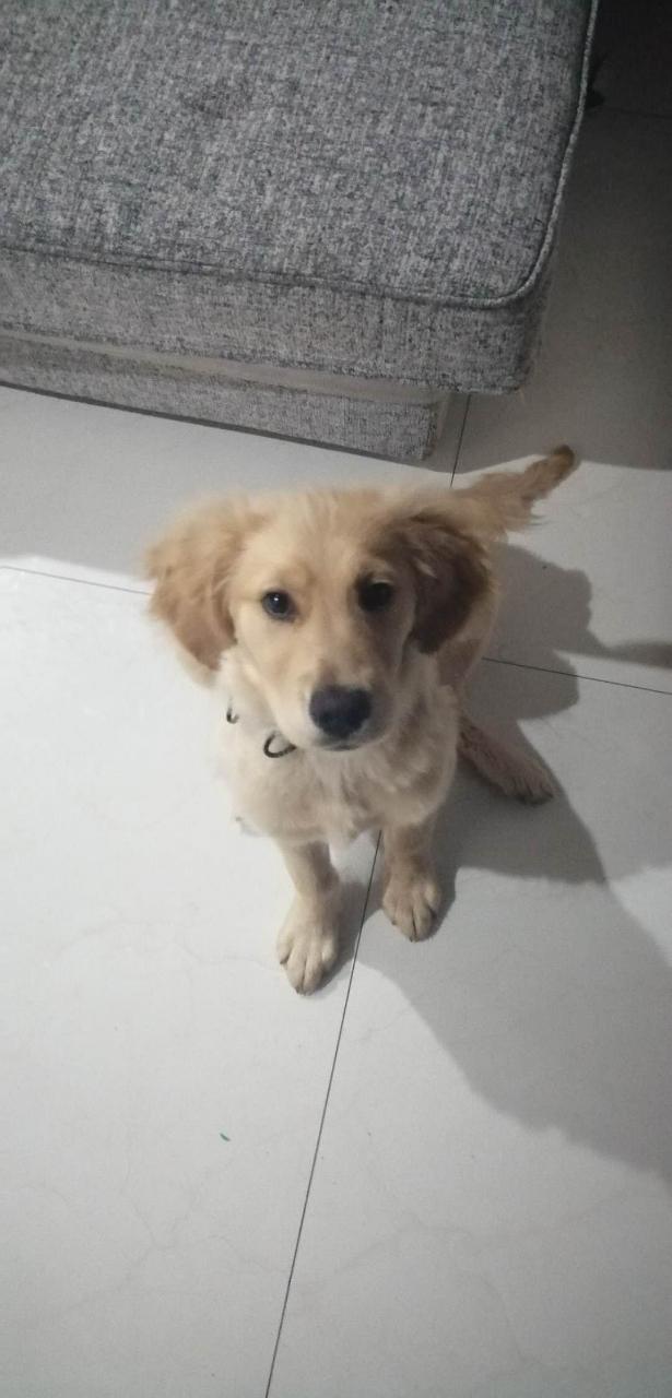 四个月金毛犬