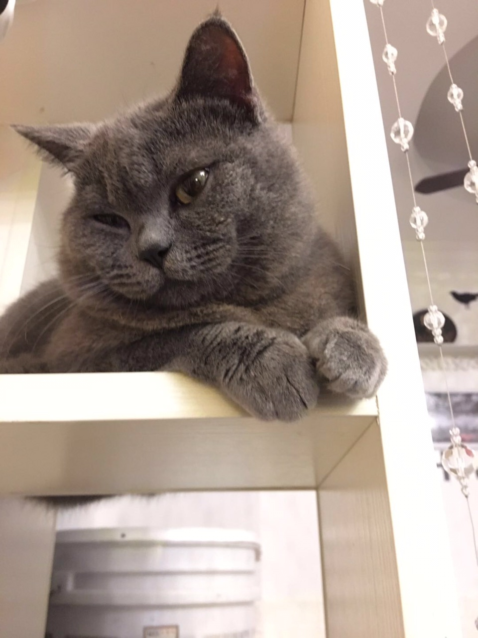 工作变动忍痛割爱一岁纯种英短,公蓝猫