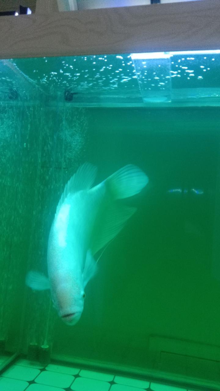 40厘米招财鱼出售