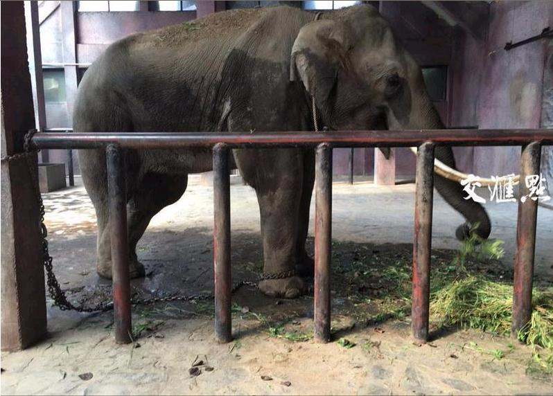市民质疑淮安动物园铁链拴养大象;动物园:只是暂时限制