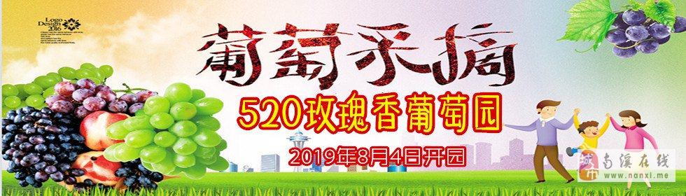 """江南""""520玫瑰香葡萄�@""""采摘活��"""