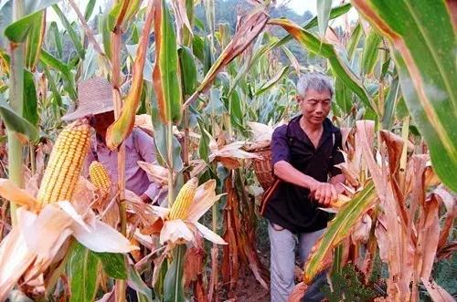 一亩地能八棵巨峰葡萄_一亩地玉米收入