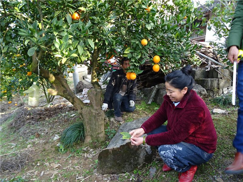 发现罕见百年柑橘树王  据应邀前来做技术指导的宜昌市老科协柑橘专家