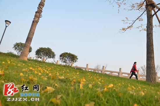 黄的银杏叶飘落在绿的草地上,成一道风景.-张家界这个地方的美乱