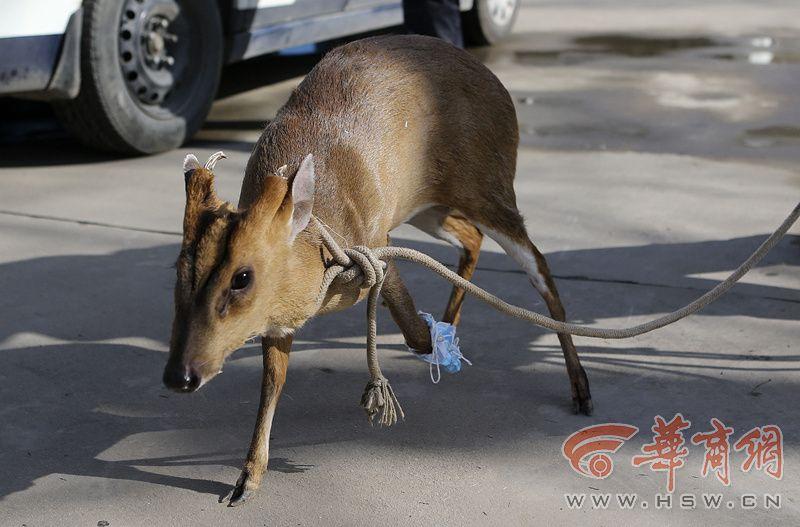 也叫吠鹿,犬麂,角麂,黄麂等名字,是国家三级保护动物,其一般栖息在