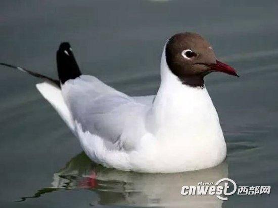 汉中江滨公园现珍稀鸟类黑嘴鸥 全国不到2000只