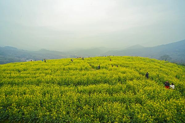 每年的3月份是大坪梯田油菜花的最佳观赏期,为给大埔旅游产业推波助