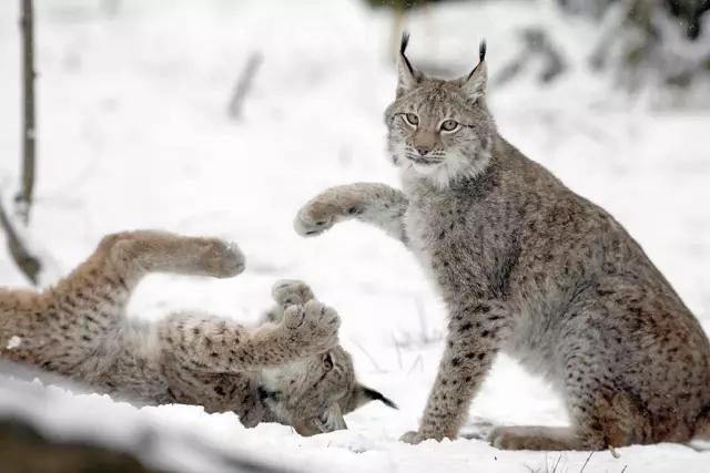 靖边疑出现中型猫科猛兽动物猞猁被农民捕获(图)