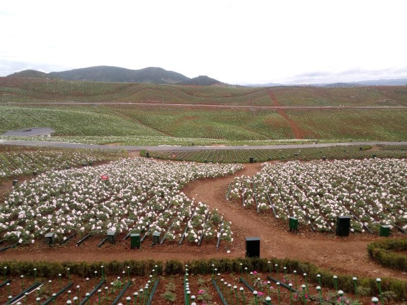 全国最大连片牡丹园在洋县建成,3000万株牡丹花盛放迎春