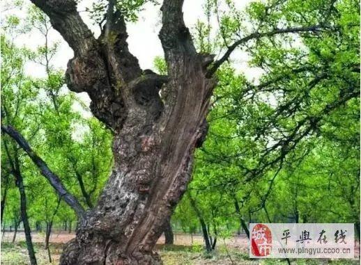 苏州风情园古树传奇 县官打枣树