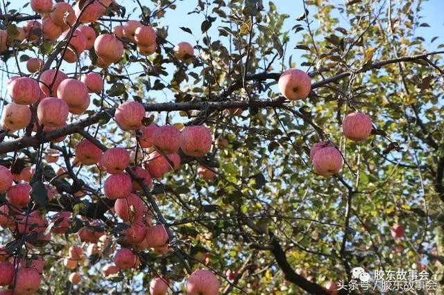 可以明显看出,苹果树的叶子已经有些发黄.