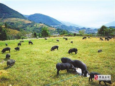"""丰富市民""""菜篮子""""需求 高黎贡山猪肉将在珠上市"""