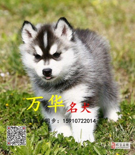 北京哪里有賣純種熊版哈士奇黑白色熊版哈士奇多少錢