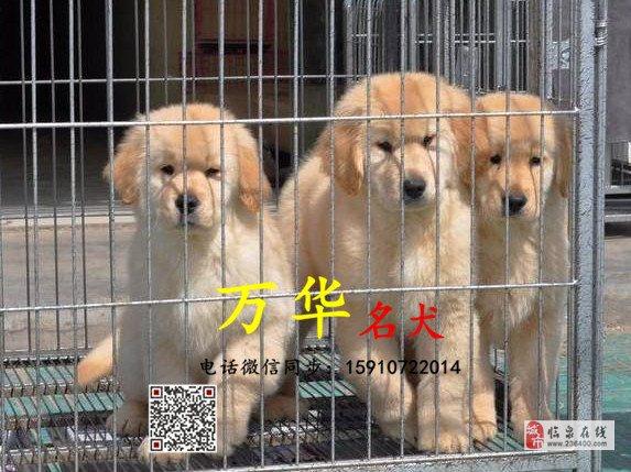 北京哪里有賣純種金毛賽級金毛價格金毛怎么賣