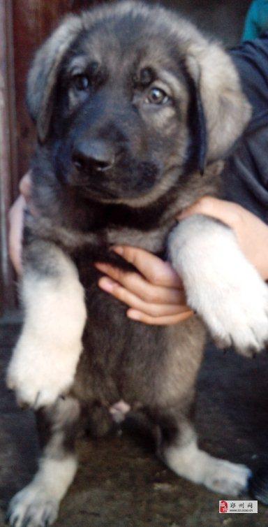 鄭州買昆明犬請聯系我狗場專業繁殖常年出售昆明犬