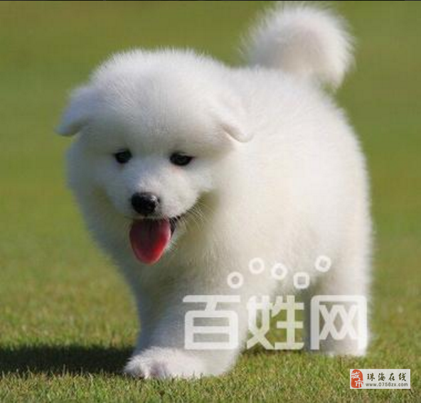 徐州本地售萨摩耶幼犬、纯正血统、品质有保障