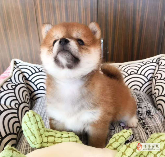 南昌犬舍出售纯种柴犬 柴犬价格 柴犬掉毛吗