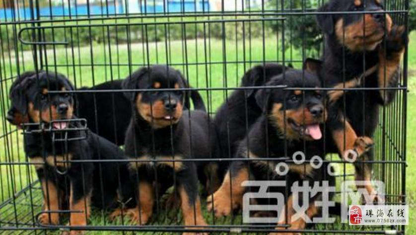 柳州哪里有卖罗威纳 柳州犬舍出售纯种罗威纳