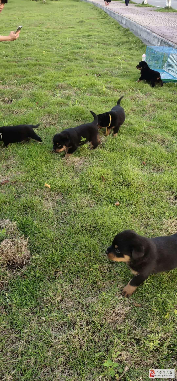 自家私養的純德系羅威納護衛犬有一窩純德系小羅威寶寶