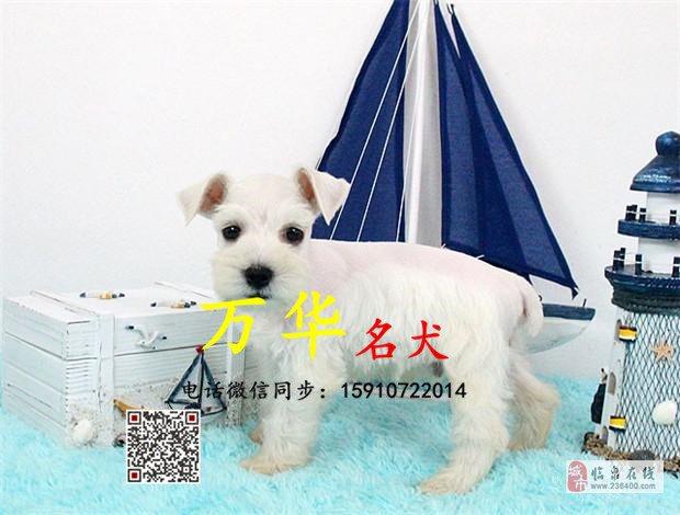 纯种雪纳瑞幼犬多少钱雪纳瑞幼犬犬舍