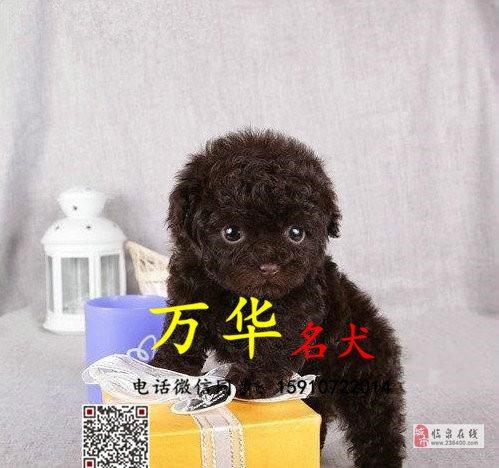 纯种泰迪多少钱泰迪幼犬体重多少泰迪犬舍