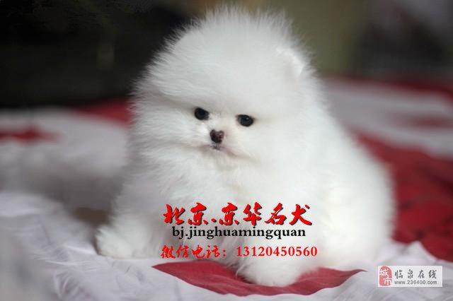 哈多利球体博美幼犬出售博美价格博美犬舍直销