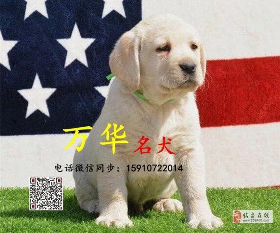 拉布拉多幼犬体重多少拉布拉多幼犬多少钱